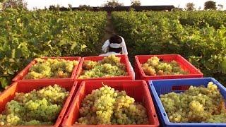 Thompson seedless Grape Harvesting