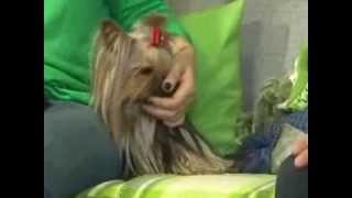 Порода собак - йоркширский терьер. Правильное питание (Фото, видео)