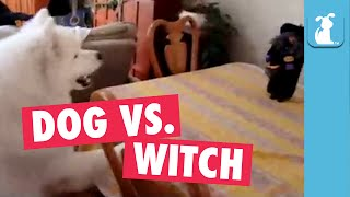 Hilarious Dog Has Irrational Fear Of Halloween Witch Toy