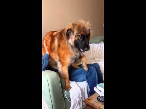Leonberger Puppy Juno