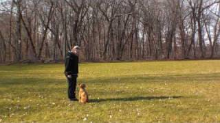 Golden Retriever Puppy Samantha - Puppy Camp Graduate