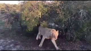 Even lions respect rhinos in the Kruger National Park!