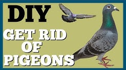 Trick to Get Rid of Pigeons on Roof - Dad's Den