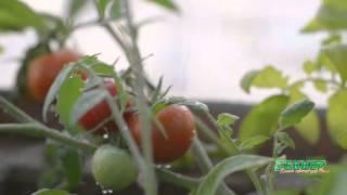 ТОП-5 овощей для выращивания на подоконнике зимой(В летнюю пору каждый любит побаловать себя свежими овощами и фруктами. А что делать зимой? Покупать продукт..., 2015-12-18T16:32:36.000Z)