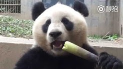Adorable Giant Panda Eating Bamboo Shoots (true ASMR video)
