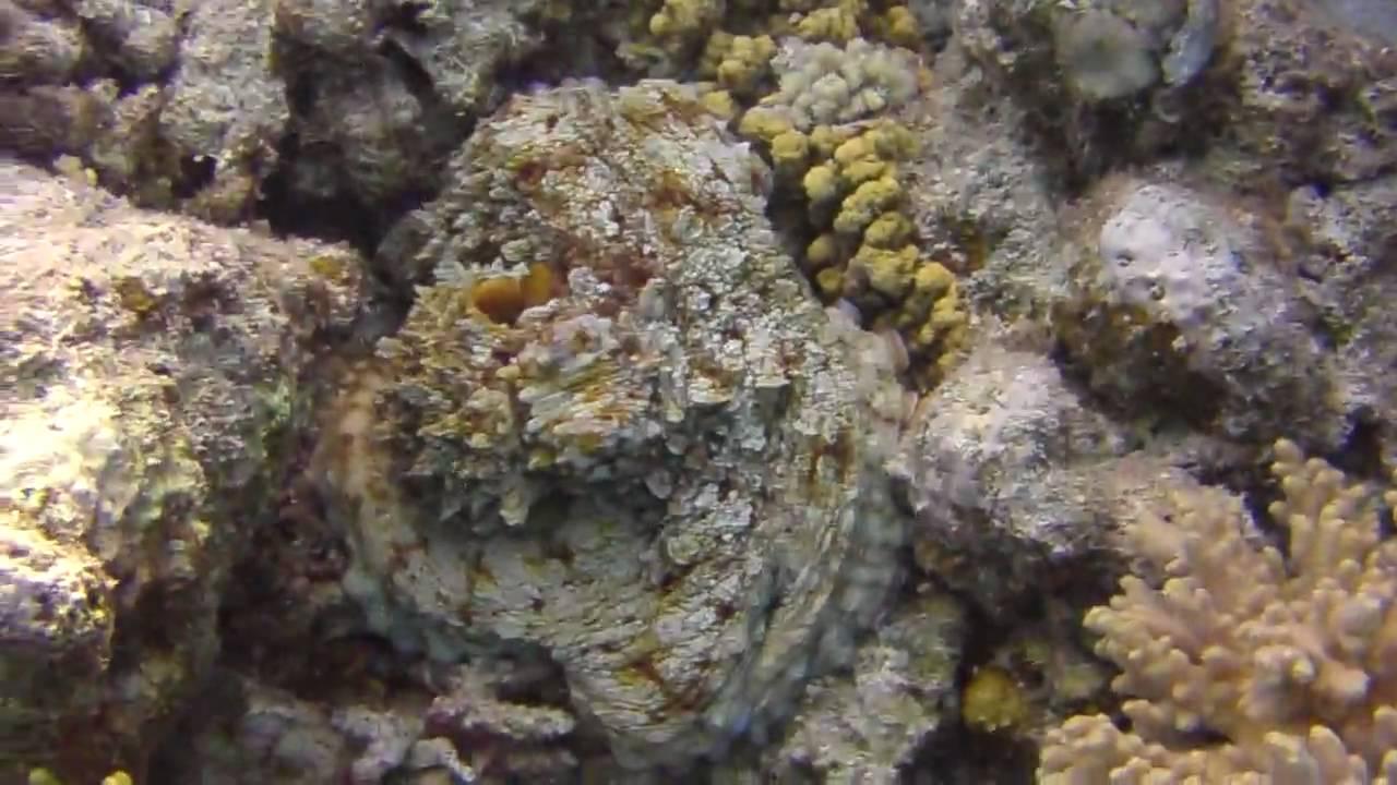 Octopus tarnt sich und zeigt Farbe 1 - YouTube