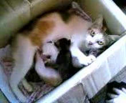 New born baby kitten 3 (part3) - The 3 colour mother feed her children