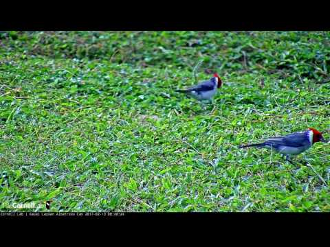 Red-crested Cardinals - Kauai Albatross Cam - Feb. 13, 2017