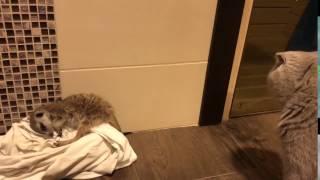 Могут ли жить сурикат и кот?