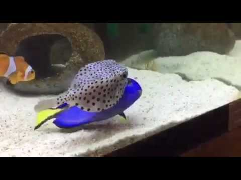 Blue Tang Presenting Itself To A Box Fish To Be Cleaned