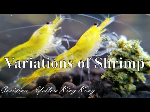 Pet Shrimp Species - Why This Hobby is So Important