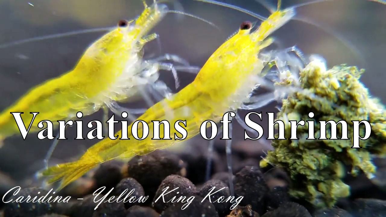 Pet Shrimp Species - Why This Hobby is So Important - YouTubeFreshwater Shrimp Pet