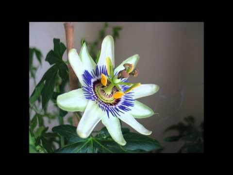 Passion Flower Timelapse