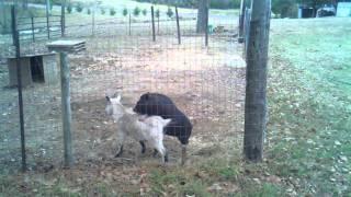 Pig and Goat Porno