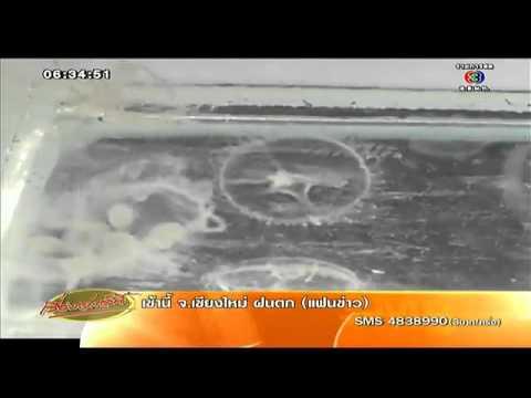 เรื่องเล่าเช้านี้ สมุทรปราการ-แมงกะพรุนน้ำจืดหายาก โผล่บ่อเลี้ยงปลาสวยงามนับร้อยตัว  (9ก.ค.57)