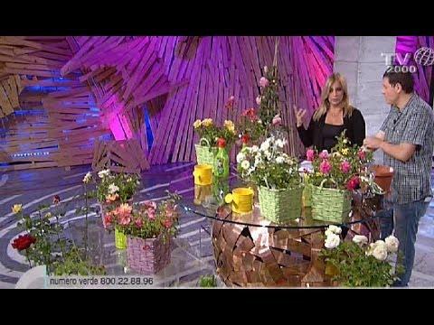 Come coltivare e curare le rose a casa propria funnydog tv - Trapianto camelia ...