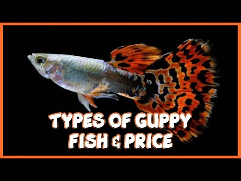 Different Types Of Guppy & Prices In India