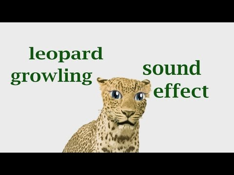 The Animal Sounds: Leopard Growling - Sound Effect ...