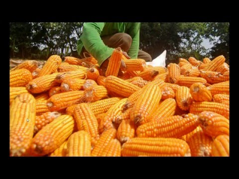 ALERT! USDA Okays Monsanto's GMO Corn Strain, Allows It to be Planted without Permits