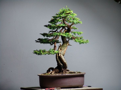 Picea wilsonii Also known as Wilson's Spruce