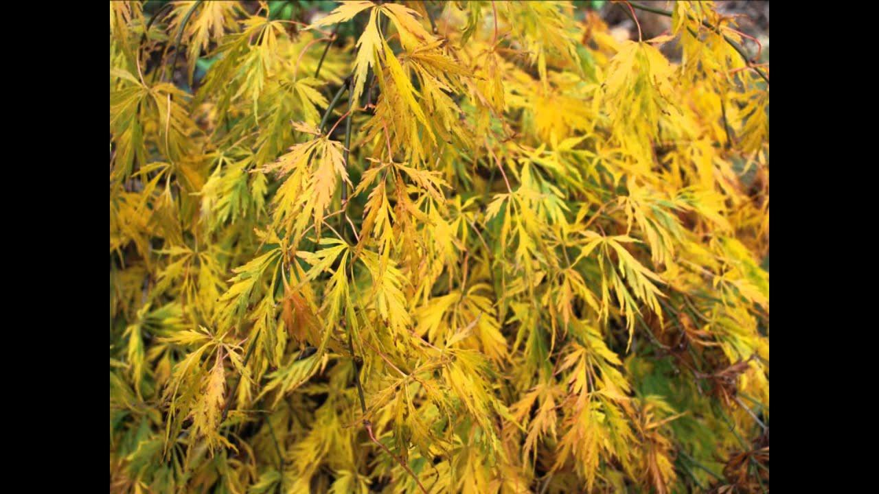 Acer Palmatum Var Dissectum Viridis Japanese Maple