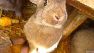 Кролики едят кукурузу. Кролиководство. Ферма, клетка