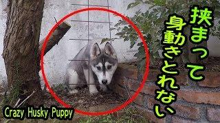 完全に狂ってしまったシベリアンハスキーの子犬 はっちゃんが かわいす...