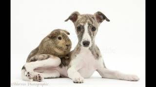 All About the Dog: Whippet