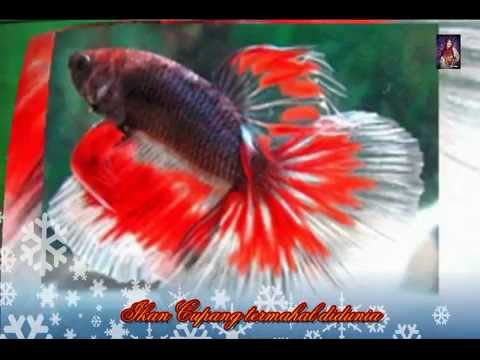 Betta fish is expensive in the world - YouTube