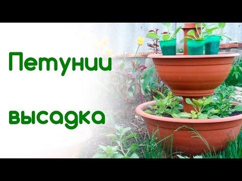 Пересадка петунии в открытый грунт Цветы в саду