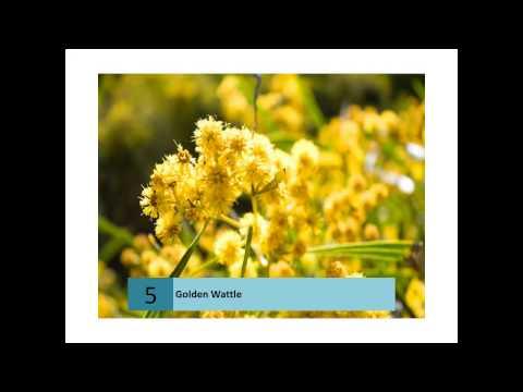 Golden Wattle Plant Information