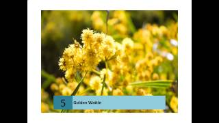 Golden Wattle Plant Information