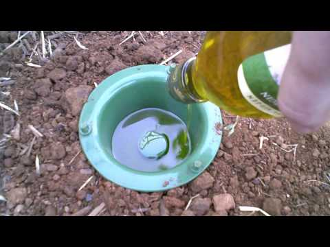 Earwig trap that has results  - YouTube