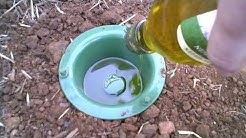 Earwig trap that has results.