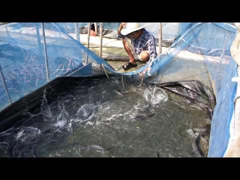 เลี้ยงปลาดุก ด้วยกระชังบนดิน (1)