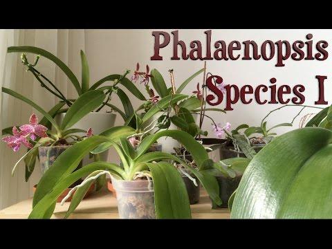 Уход за орхидеями Фаленопсис