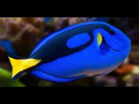 Blue Tang Fish - Blue Tang Care - Should You Buy A Dory Fish?