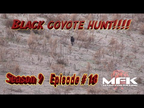 Black Coyote Hunt with No Culls  S9:E18