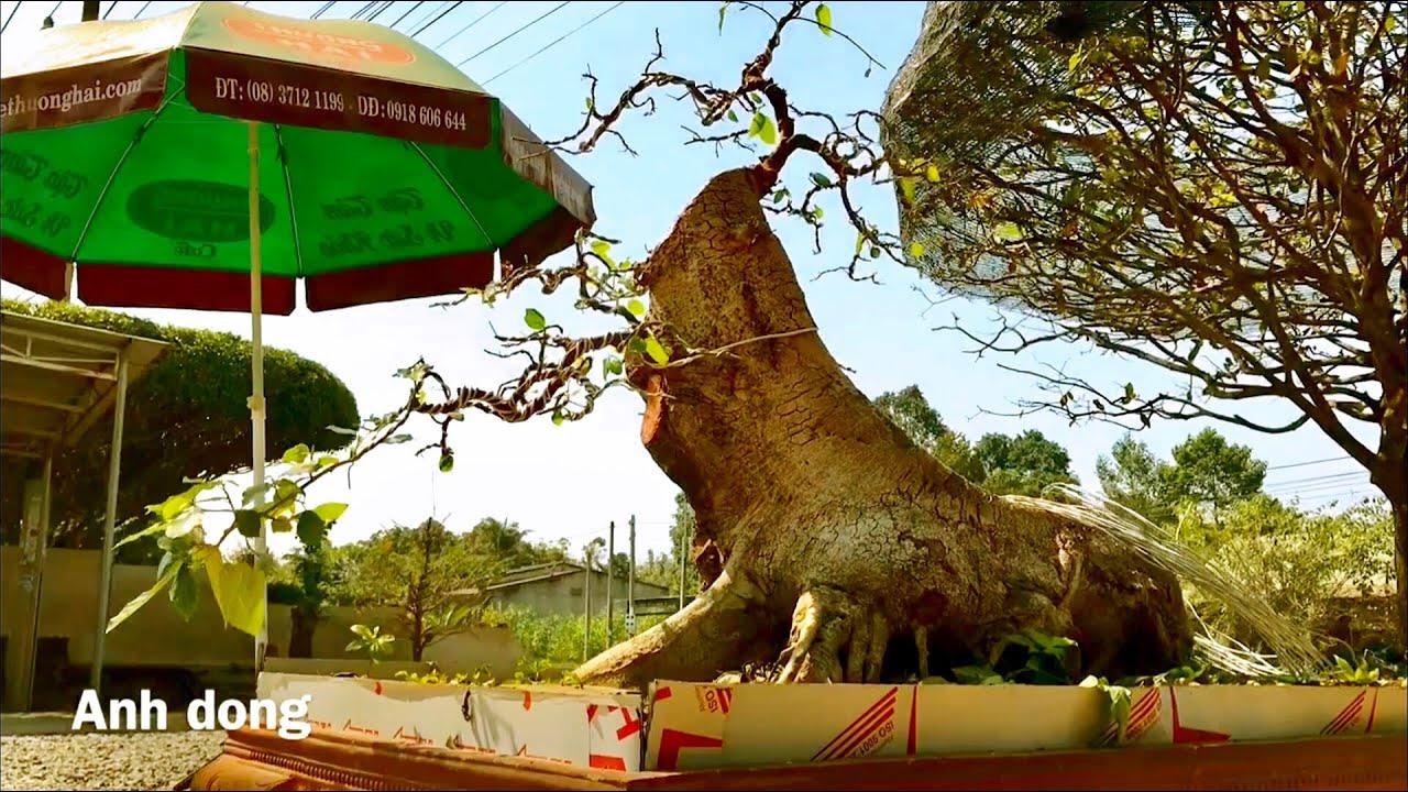 Uốn cây sung tiếp theo (P3)