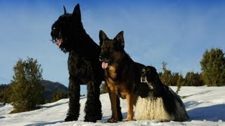 German Shepherd, American Cocker Spaniel And Giant Schnauzer -  Beautiful Photos