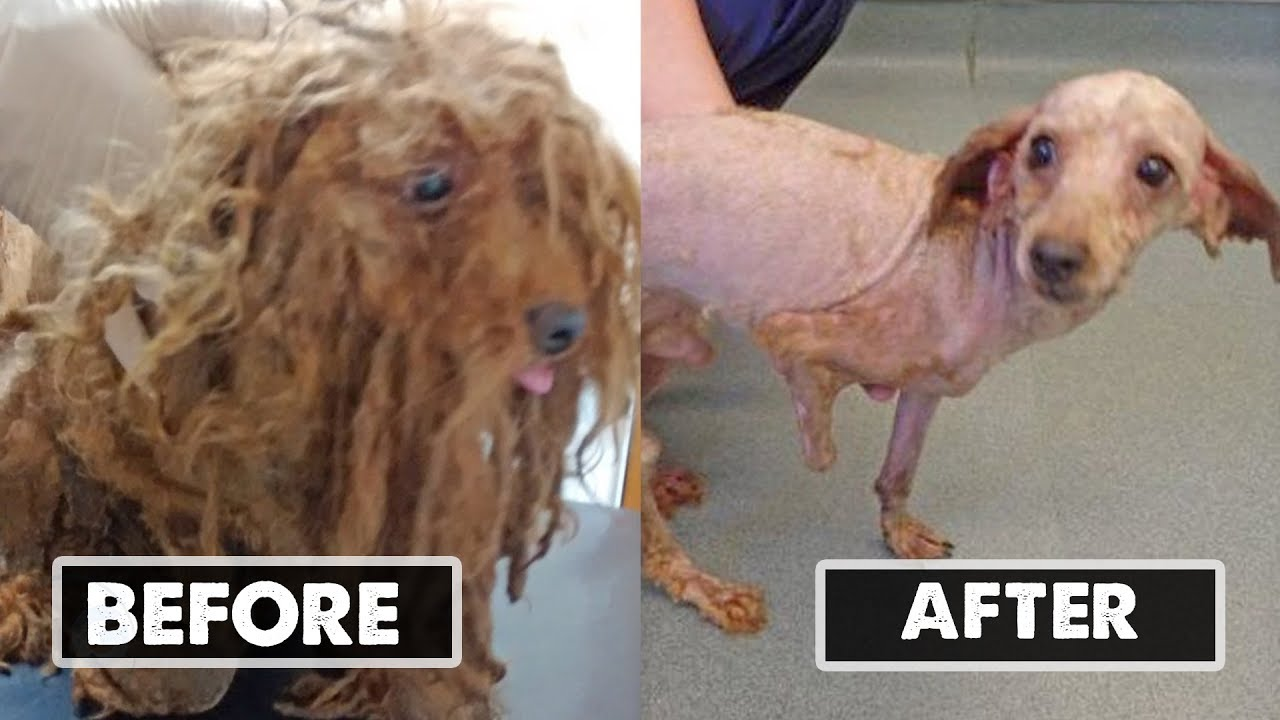 when-vets-shaved-this-animal-s-tangled-fur-they-learned-the-sad-story-his-hair-had-been-hiding