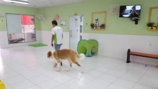 Flafy(Saint Bernard) obedience training