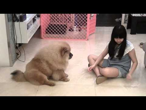 Smart 5 months old CHOW CHOW ~ BIG FELLOW