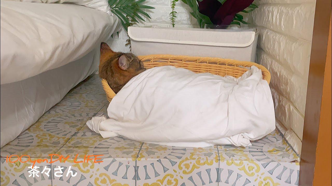 彼氏のブカブカTシャツを着る猫が可愛すぎるwww【成保護猫と暮らしたくなるまとめ#23】