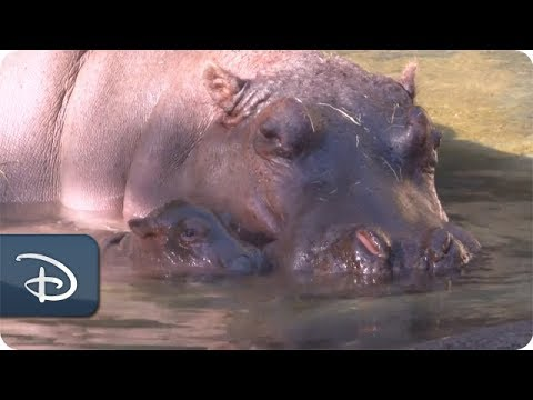 New Baby Hippo at Disney