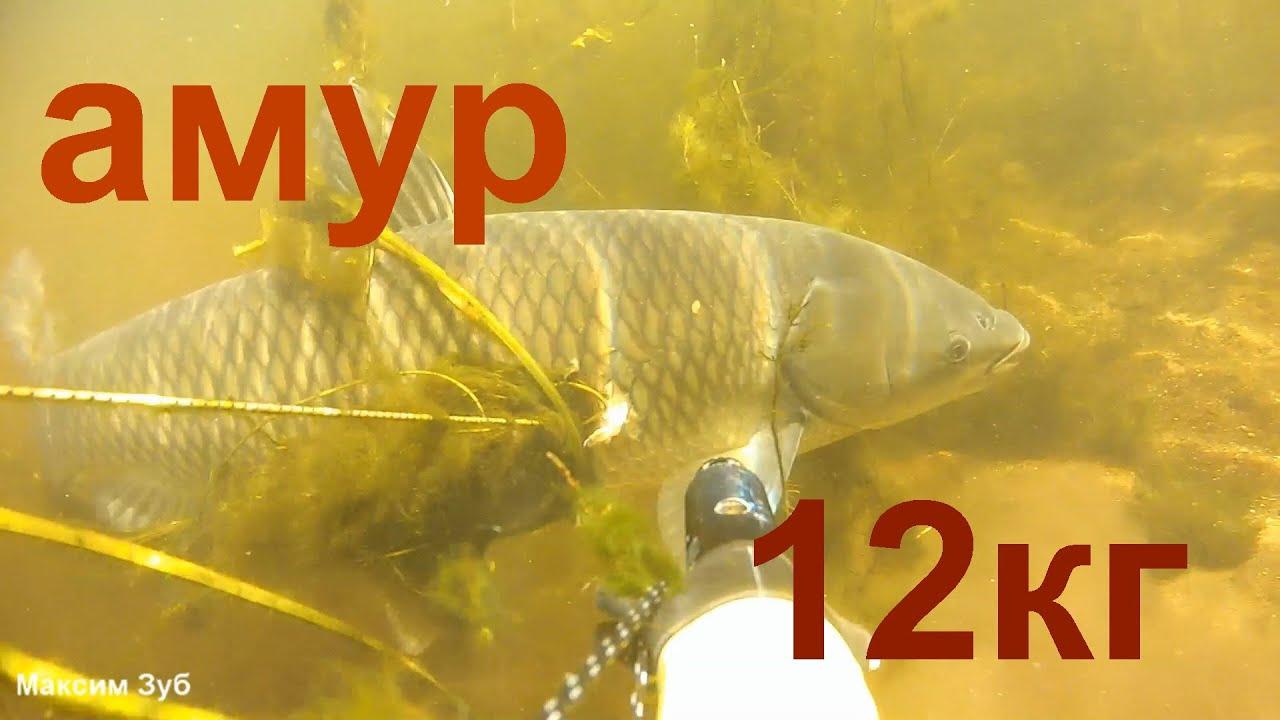 ЗА АМУРОМ ПО ЧИСТОЙ ВОДЕ.Подводная охота на трофейного амура на реке Днепр.Spearfishing