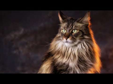 200 MAINE COON