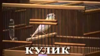 russian canary 99402246