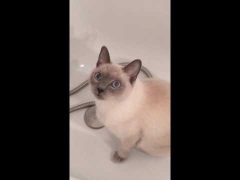 Henya - Siamoise - Délire dans la baignoire  Partie 2 - Funny cat siamese