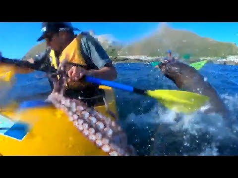 Sharon Green - Seal Smacks Kayaker In The Face With An Octopus!  What??